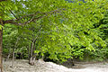 Quercus crispula 02.jpg