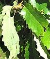 Quercus muehlenbergii-leaves-immature-acorns.jpg