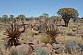 Quiver tree forest, Aloe rozsochatá - Namibie - panoramio (4).jpg