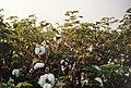 Récolte du coton à El Carmen - Pérou 05.JPG