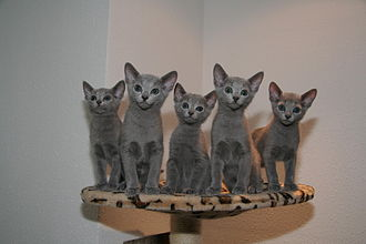 Russian Blue - 4-5 month-old Russian Blue kittens
