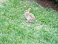 Rabbit (514168503).jpg