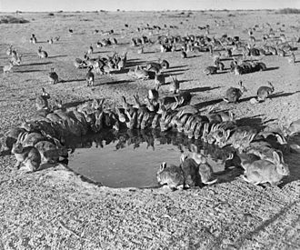 Myxomatosis - Rabbits around a waterhole in the myxomatosis trial site on Wardang Island in 1938