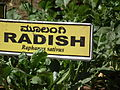 Raddish plant ( Raphanus sativus ) from lalbagh 2339.JPG