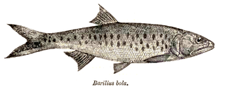 <i>Raiamas</i> genus of fishes
