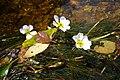 Ranunculus fluitans (5854313900).jpg