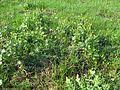 Ranunculus undosus habit3 NWP - Flickr - Macleay Grass Man.jpg