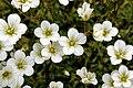 Rasen-Steinbrech (Saxifraga rosacea) 5725.JPG