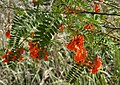 Rattlebox Sesbania (Daubentonia) punicea (38381150974).jpg