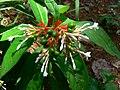 Rauvolfia serpentina (505526733).jpg