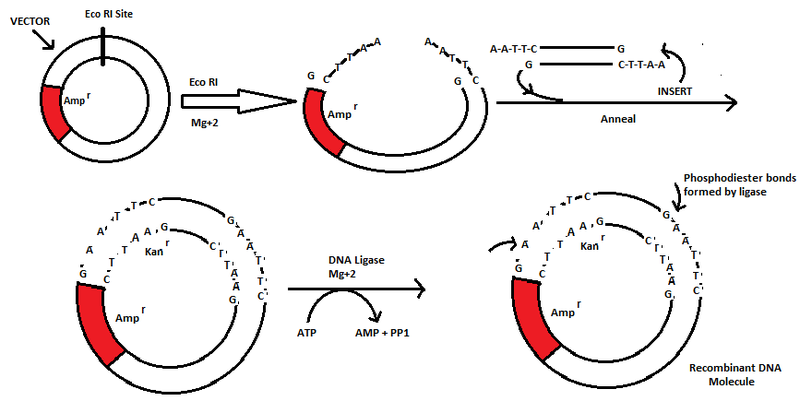 File:Recombinant DNA Molecule.png