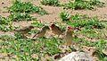 Red-billed Queleas (Quelea quelea) (6006109210).jpg