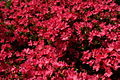Red-flower-bush-azalea - West Virginia - ForestWander.jpg