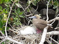 Red-footed Booby (Sula sula) -adult on nest with chicks