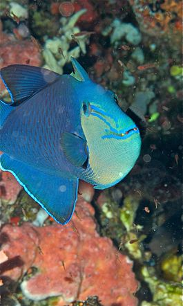 Red-toothed Triggerfish (Odonus niger) (6055783771) 2.jpg