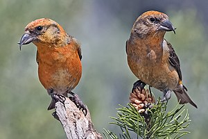 Two male Common Crossbills