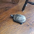 Red Eared Slider Turtle Female 5 years old.jpg
