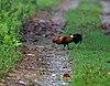 Red Junglefowl (Gallus gallus) at 23 Mile near Jayanti, Duars, West Bengal W IMG 5868