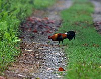 Red Junglefowl (Gallus gallus) at 23 Mile near Jayanti, Duars, West Bengal W IMG 5868