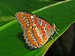 Red Lacewing - Cethosia biblis-1.JPG
