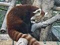 Red Panda 06.jpg