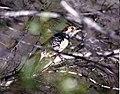 Red bellied woodpecker (16094054288).jpg