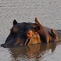 Red billed oxpeckers on hippo.jpg