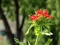 Red flower (14485036697).jpg