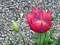 Red poppy 3.jpg