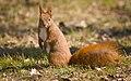Red squirrel (27195939548).jpg