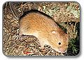 Red tree vole 2.jpg