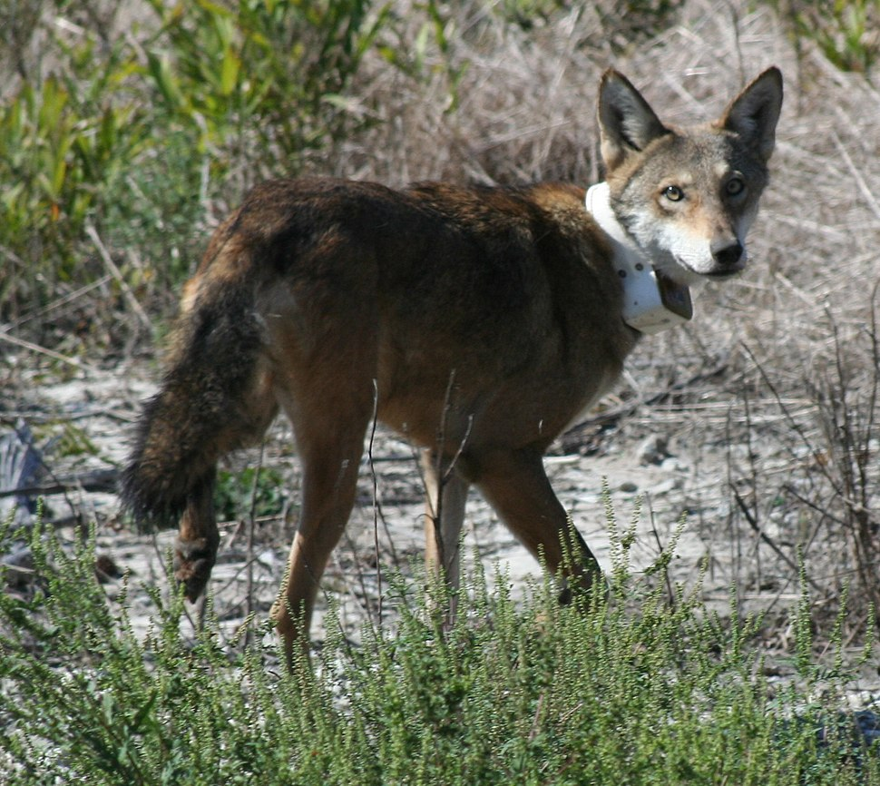 Red wolf with radio collar