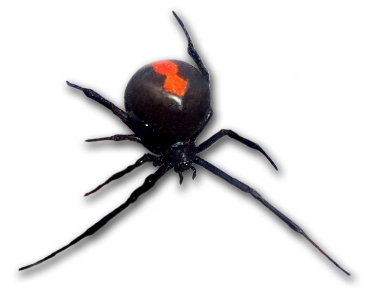 File:Redback frontal view.jpg