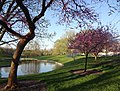 Redbud trees at the south pond (8789263064).jpg