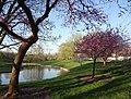 Redbud trees at the south pond (8789263064).jpg