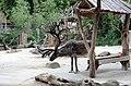 Rentier Rangifer tarandus Tiergarten Schönbrunn Wien 2014 a.jpg