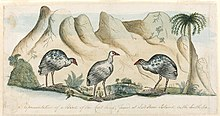 Original drawing of the extinct white gallinule by Arthur Bowes Smyth, surgeon aboard First Fleet ship Lady Penrhyn