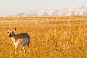 Antelope Island State Park - A pronghorn on Antelope Island