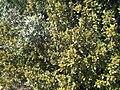 Rhamnus alaternus subsp. myrtifolia Habitus SierraMadrona.jpg