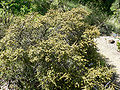 Rhamnus crocea 1.jpg