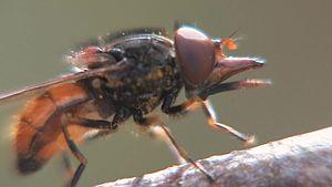 File:Rhingia campestris - 2013-09-21.webm