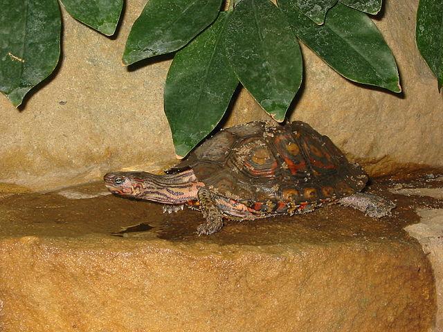 Ornate Wood Turtle, R. p. manni