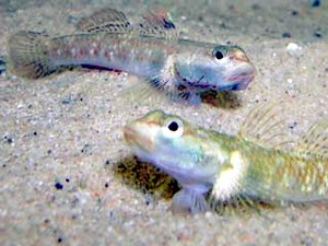 Gobioidei - Freshwater gobies,  Rhinogobius duospilus