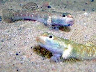 Demersal fish - Two freshwater gobies, Rhinogobius duospilus