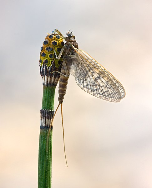 A female subimago of March Brown (Rhithrogena germanica) mayfly in the family Heptageniidae.