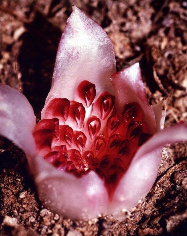 Rhizanthella gardneri — Fred Hort
