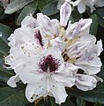 Rhododendron in Cannizaro Park - geograph.org.uk - 798925.jpg