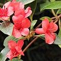Rhododendron lochiae-IMG 5538.jpg