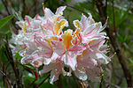 Rhododendron occidentale Strybing.jpg