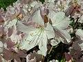 Rhododendron schlippenbachii 2019-04-20 1689.jpg